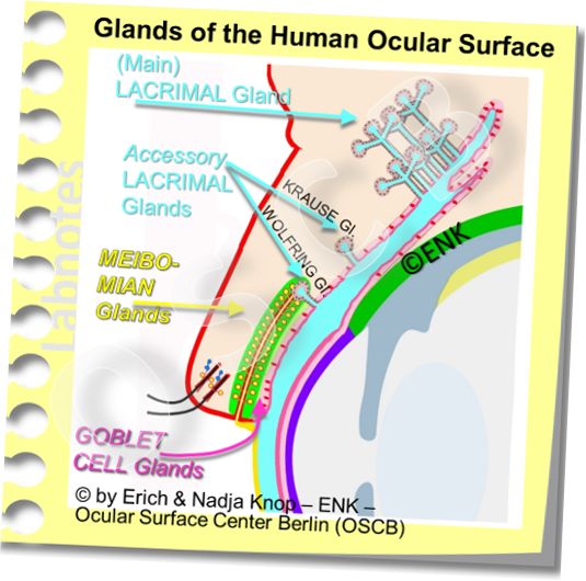 The Ocular Surface has different glands that produce different components of the tear fluid. The largest single gland that produces most of the aqueous tear fluid is the lacrimal gland in the temporal orbit.