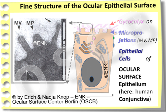 OSCB-Bild_3.2.3.1_Ocular Surface_Fine structure of the ocular epithelial surface.png