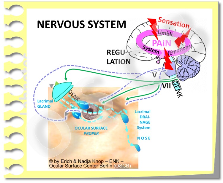 A simplified scheme of  the nervous system in relation to the Ocular Surface . The  cranial nerves  V (trigeminal) and VII (facial)  maintain the reflex arcs  that drive the  regulation  of  secretion  by the ocular glands and of the lid apparatus for  blinking .