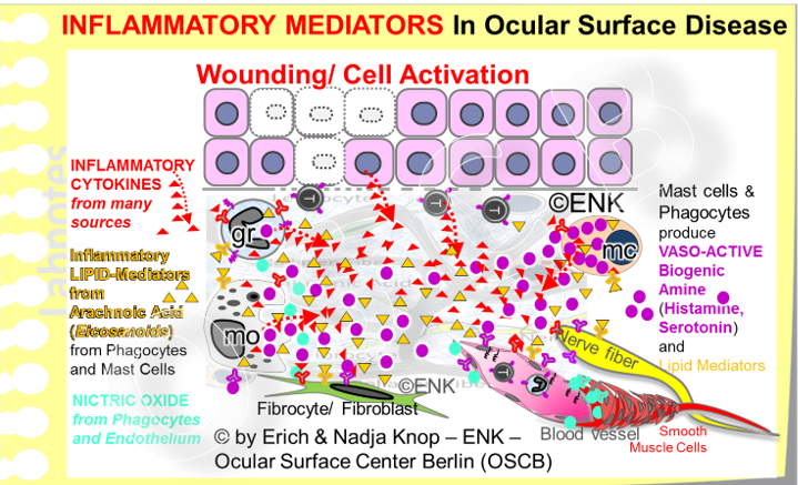 Many different signaling molecules with a pro-inflammatory effect (= Inflammatory Mediators) are involved in inflammatory processes and modulate Inflammation. All signaling molecules act via binding to a respective receptor of a target cell.  Inflammatory Cytokines  are produced by many cells types and the same is true for  inflammatory lipid mediators  (eicosanoides) that encompass well known molecules such as different  prostaglandins and leukotrienes  - among other functions they induce pain. More restricted are  vasoactive amines  such as Histamine, Bradikinin and Serotonin that are produces by mast cells (mc in the diagram) and phagocytes (granuclocytes and macrophages - indicated by ´gr´and ´mo´in the diagram).  An unstable and therefore short-time and short-distance acting mediator is the gas  Nitric Oxide  (No, blue-green in the diagram) that is produced mainly by macrophages and endothelial cells of blood vessels that induce relaxation of the peri-vascular smooth muscle cells and thus dilatation of the vessel with subsequent slow blood flow. Together with Histamine this promotes the inflammatory extravasation of plasma and cells into the tissue.