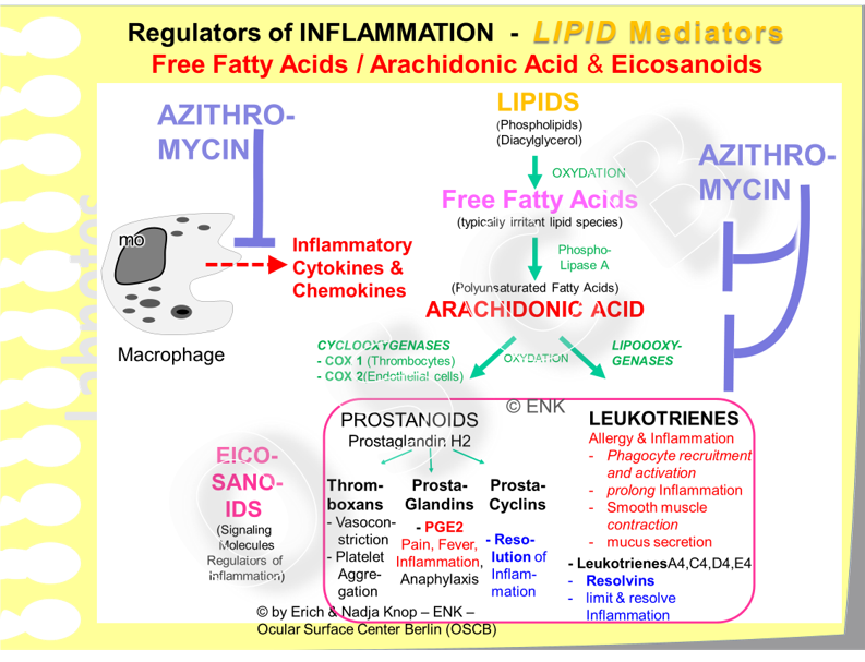 Azithromycin has an anti-inflammatory effect via several pathways. It limits the metabolism of inflammatory lipid species upstream of the crucial molecule Arachidonic Acid, which leads to its decreased production, and it also inhibits its downstream metabolisation into all the inflammatory Eicosanoids. Further effects concern e.g. an inhibition of inflammatory cytokine and chemokine production by phagocytes.
