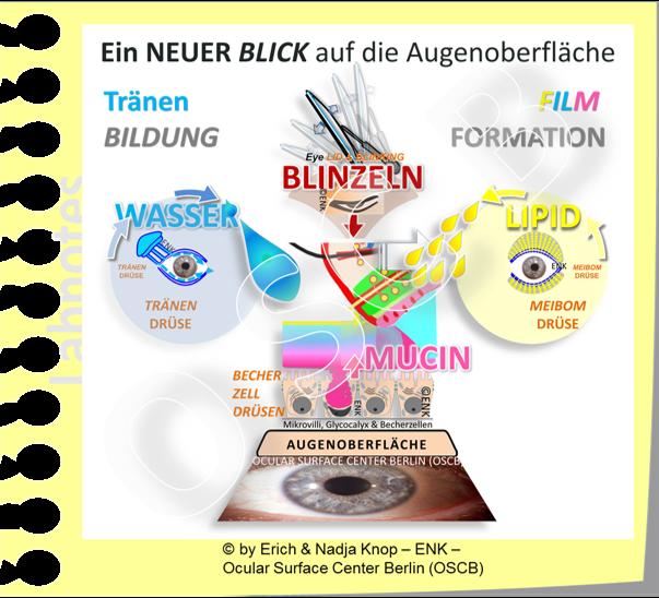 OSCB-BILD_Augenoberfläche_EIN NEUER BLICK auf die AUGENOBERFLÄCHE  ...BASIC FUNCTIONAL COMPLEX (Überblick Funktionelle Komplexe).png