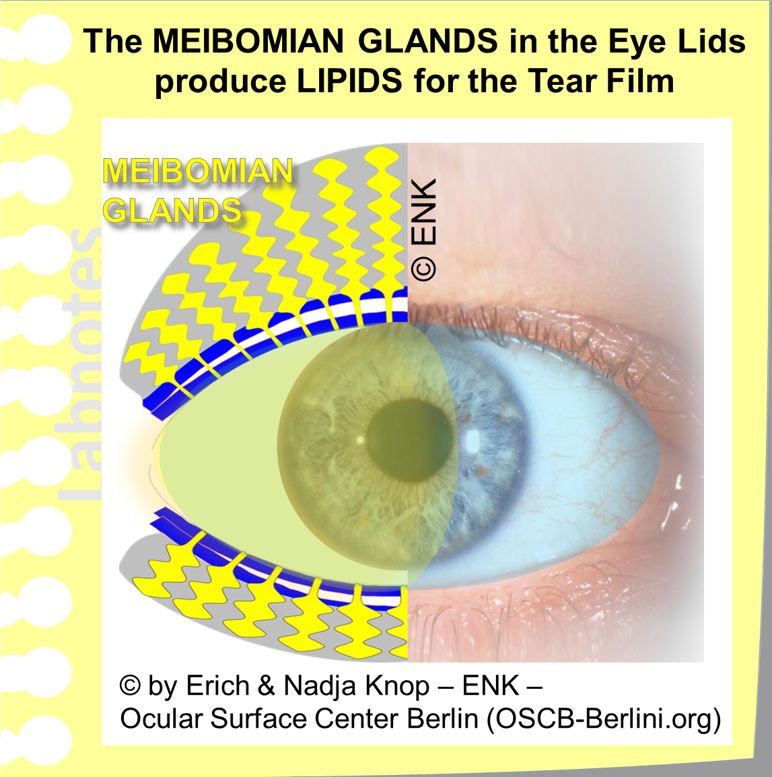 The Oil from the  Meibomian Glands inside the Eye Lids  covers the aqueous Tear FILM with an oily layer that retards evaporation of water and increases the stability of the tear FILM