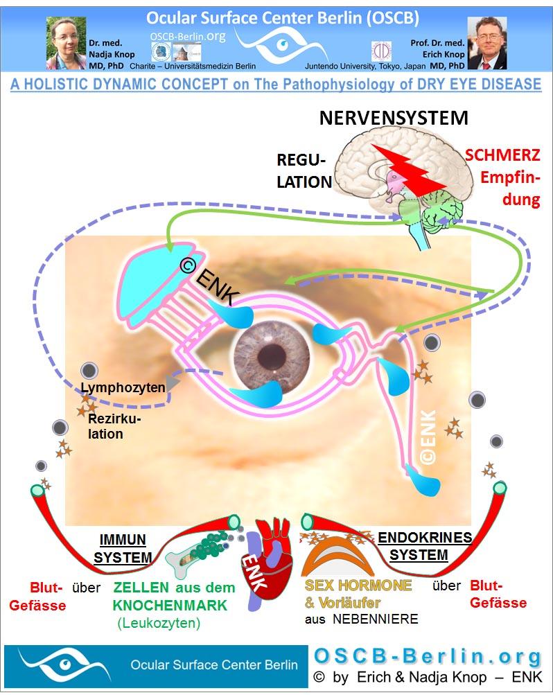 Der TRÄNENFLUSS an der Augenoberfläche  wird in einer animierten Schemazeichnung gezeigt. Das überwiegende Volumen der Tränen kommt aus der  Tränendrüse  und wird durch mehrere Ausführungsgänge in den Konjunktivalsack abgeben. Die  Tränenflüssigkeit ´baded´ die  eigentliche  sichtbare Augenoberfläche  (Hornhaut und Bindehaut) und wird dann durch die  Ableitenden Tränenwege  in die Nase hinein ´entsorgt´.