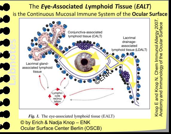 IMMUNE SYSTEM    Eye-Associated Lymphoid Tissue (EALT)