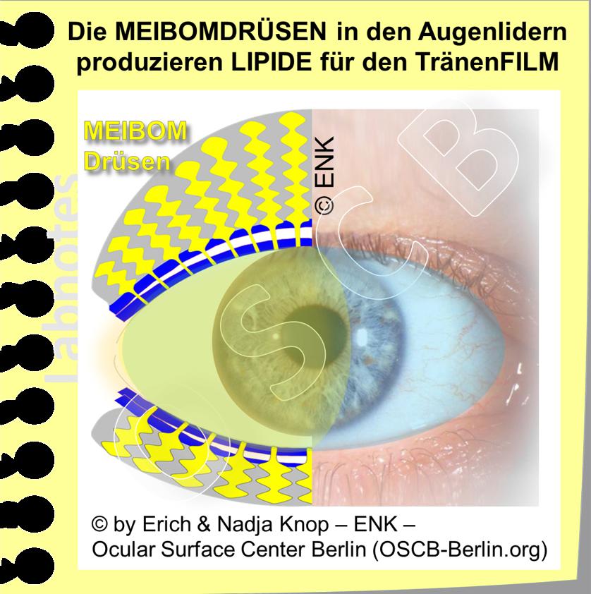OSCB-Berlin.org_Die MEIBOMDRÜSEN in den Augenlidern produzieren LIPIDE für den TränenFILM.png
