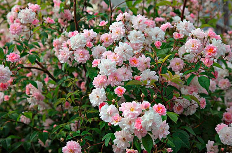 Roses-main.jpg