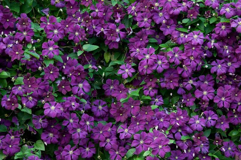 clematis-etoile-violette_bauer.jpg