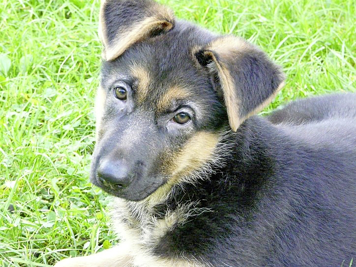 Kayra as a 12-week old pup relaxing in the garden after training