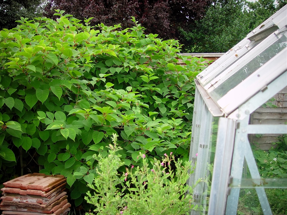 Japanese Knotweed can damage foundations
