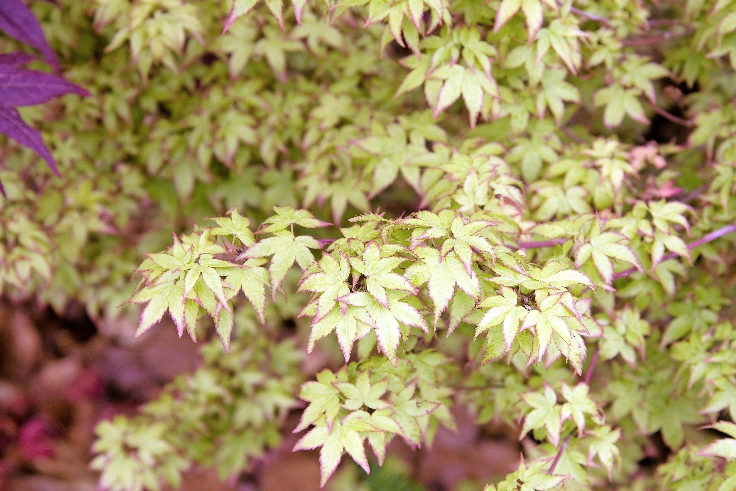 Acer palmatum 'Little Princess' .jpg