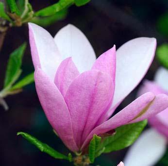 Magnolia Pinkie.jpg