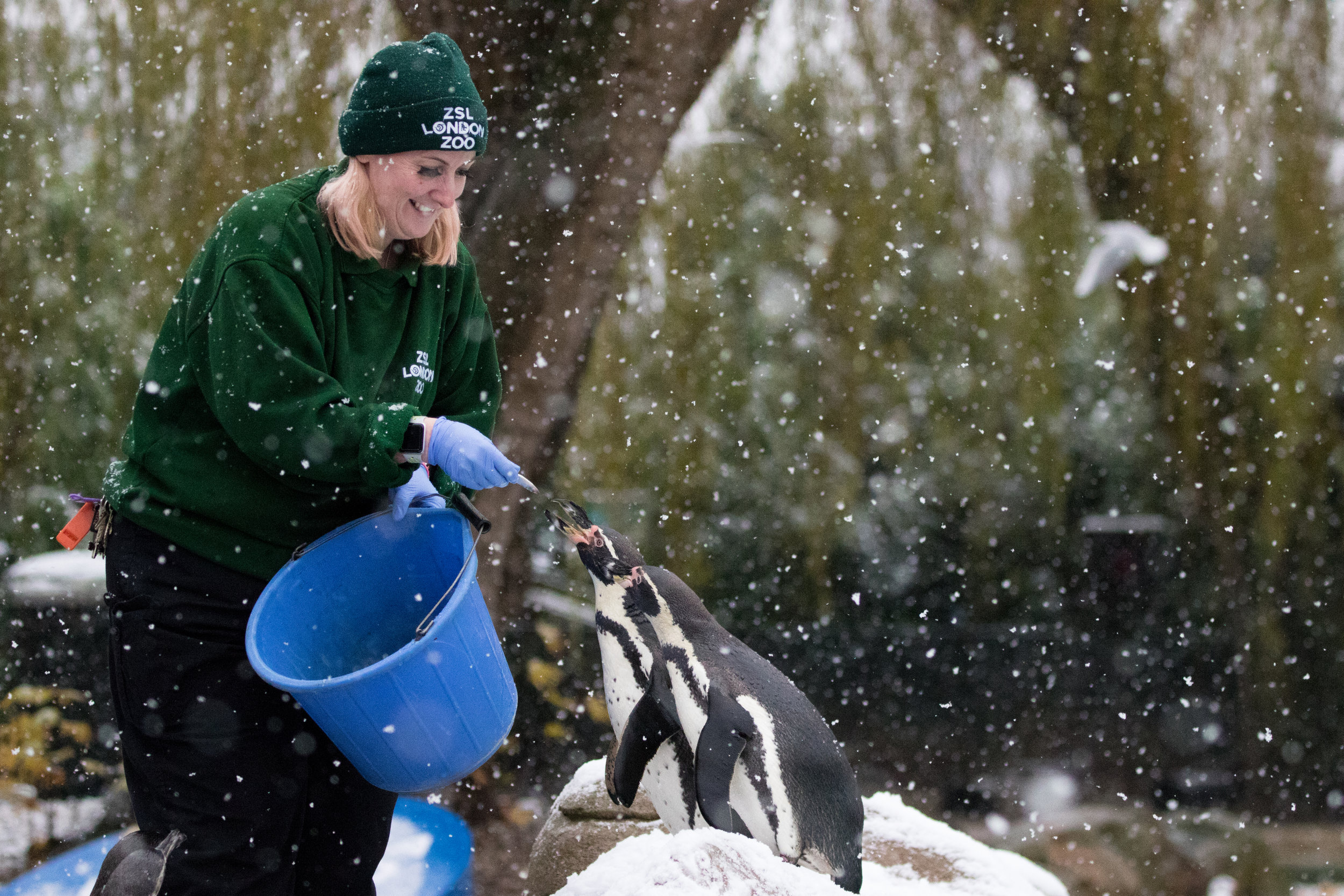 Penguins enjoy a feed in the snow at ZSL London Zoo (c) ZSL.jpg