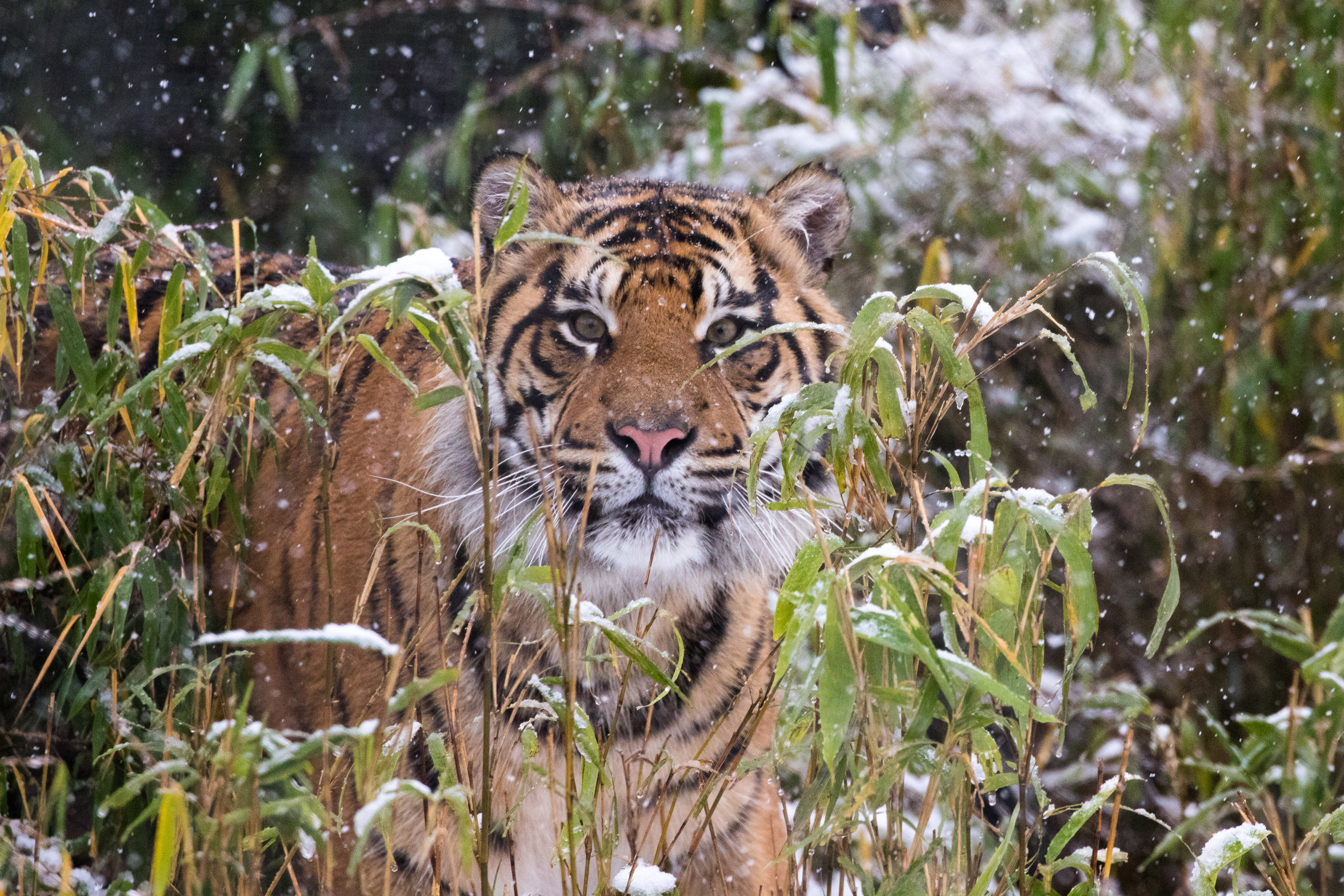 Sumatran tiger Achilles in the snow at ZSL London Zoo (c) ZSL.jpg