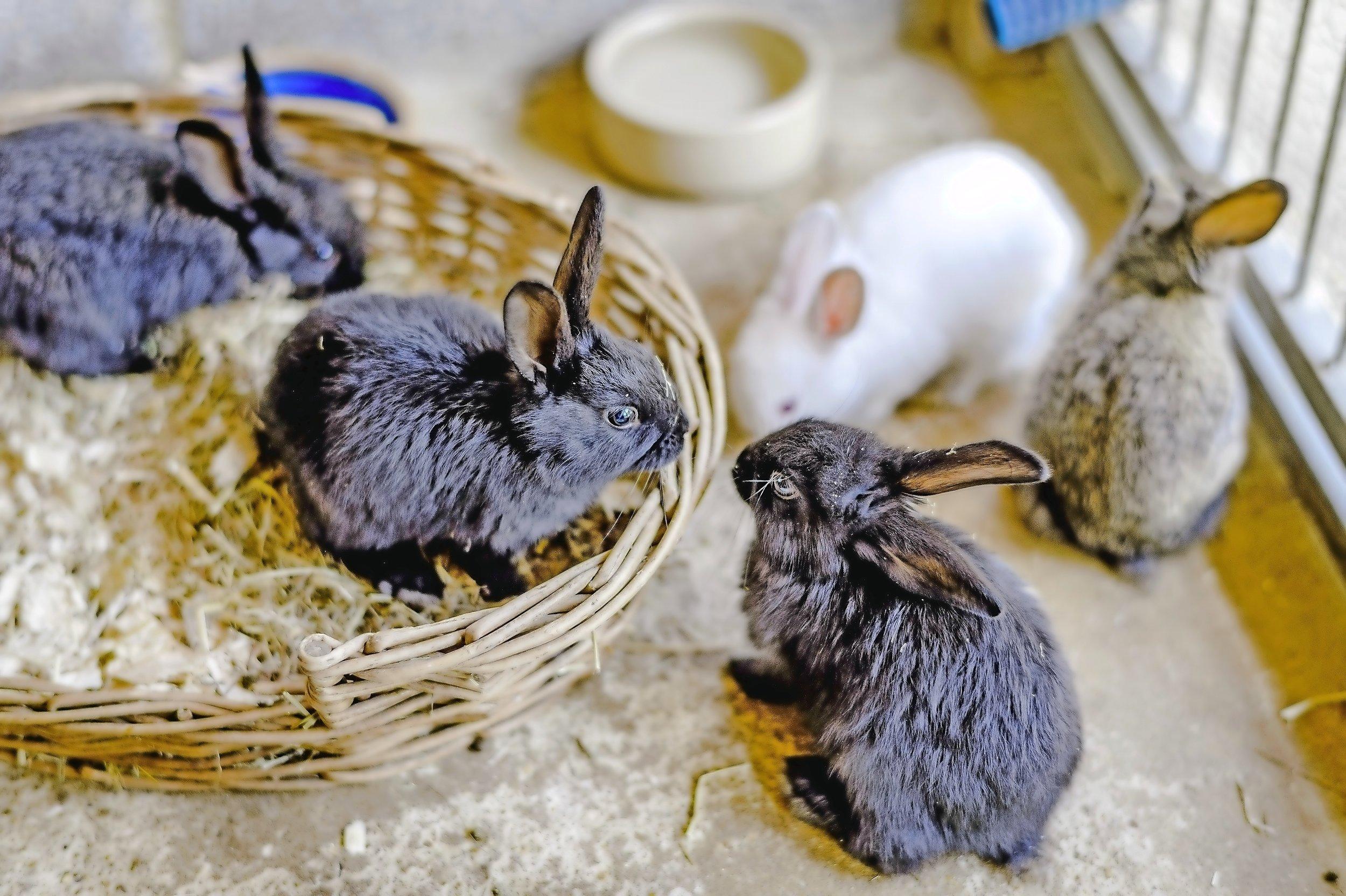 Baby bunnies at Hertfordshire.jpg