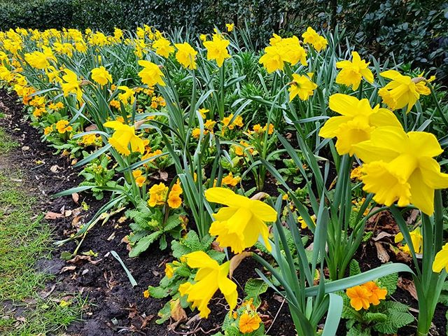 The daffodils are in full bloom in Regents Park this week! Have you spotted any where you are?