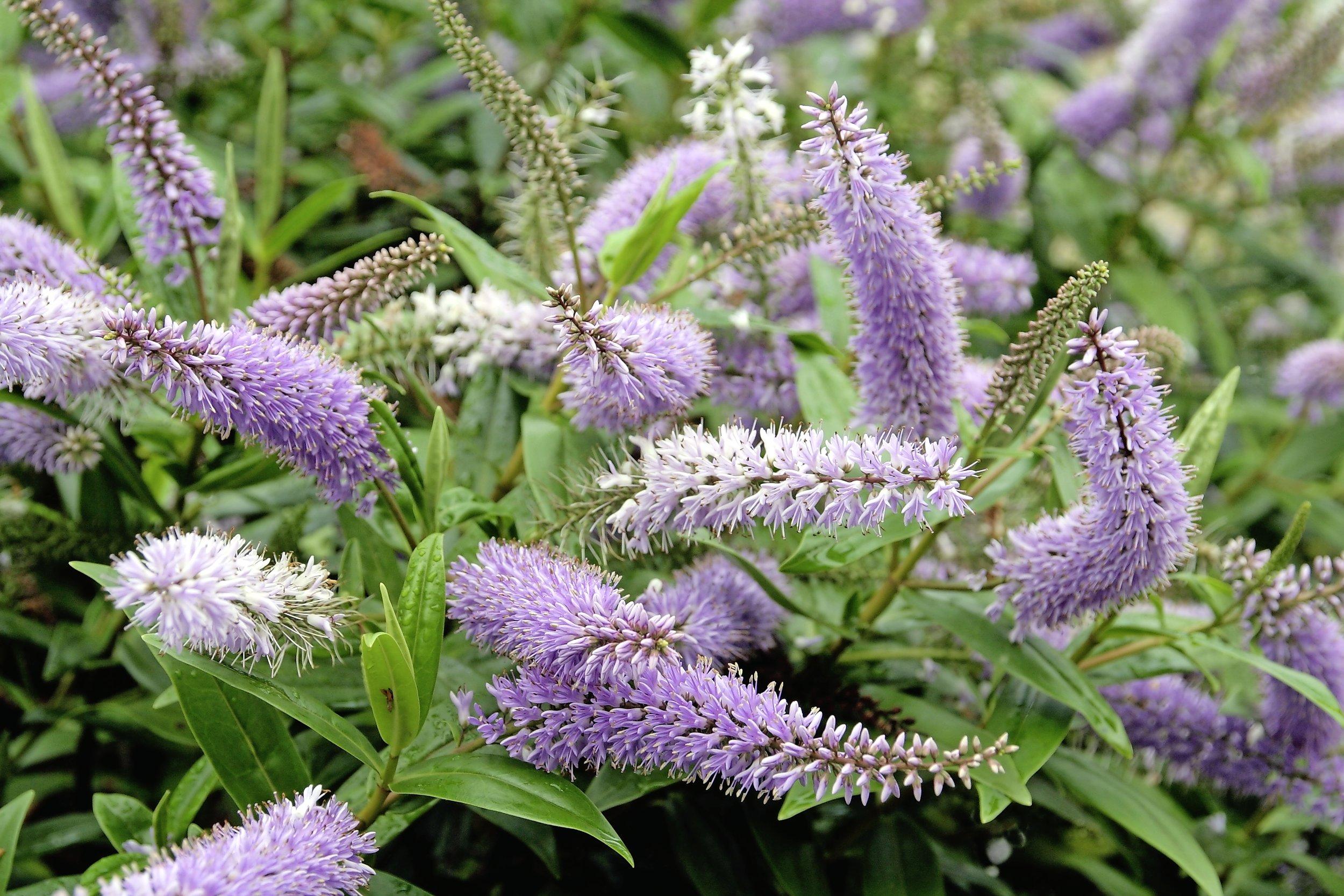 Flowering hebe.jpg