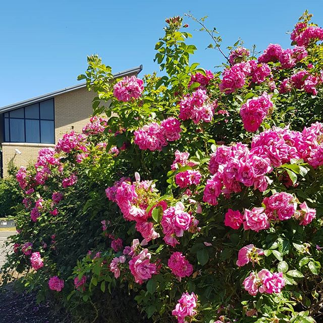 There's nothing like a blooming bush of roses to mark the arrival of summer! Have you planted any new additions in your garden this year?