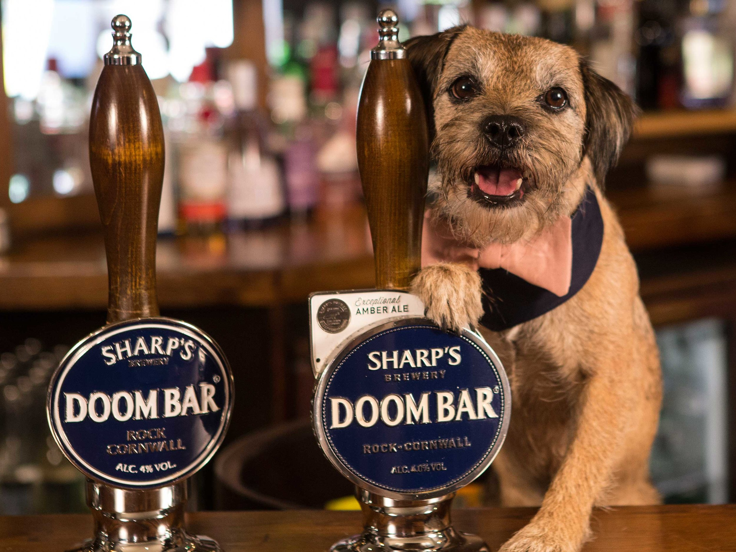 Border-terrier-Bramble-became-a-pup-landlord-for-the-day-with-Vintage-Inns.jpg