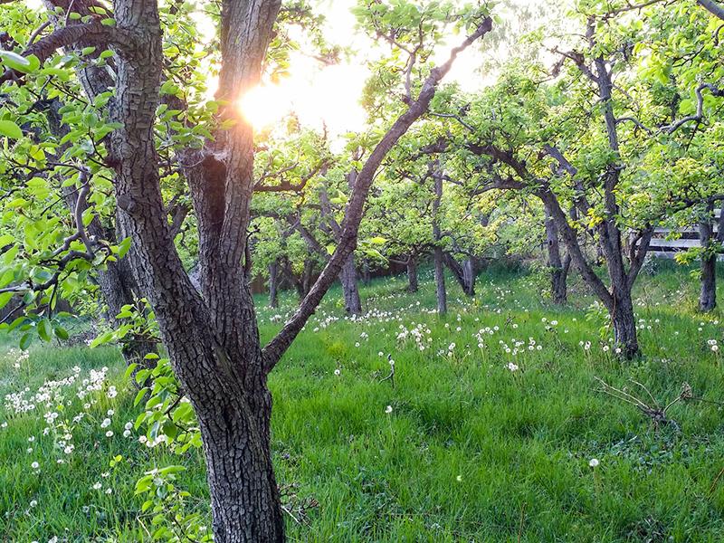 NV Cider's Orchard