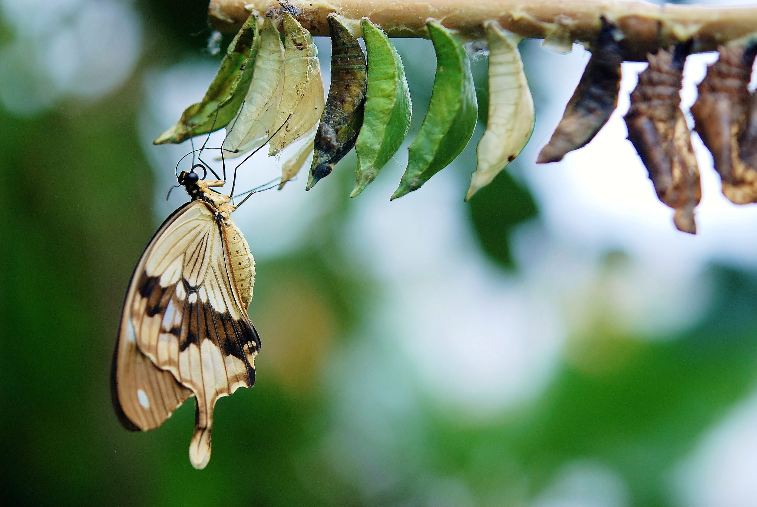Canva - Brown and White Swallowtail Butterfly Under White Green and Brown Cocoon in Shallow Focus Lens.jpg