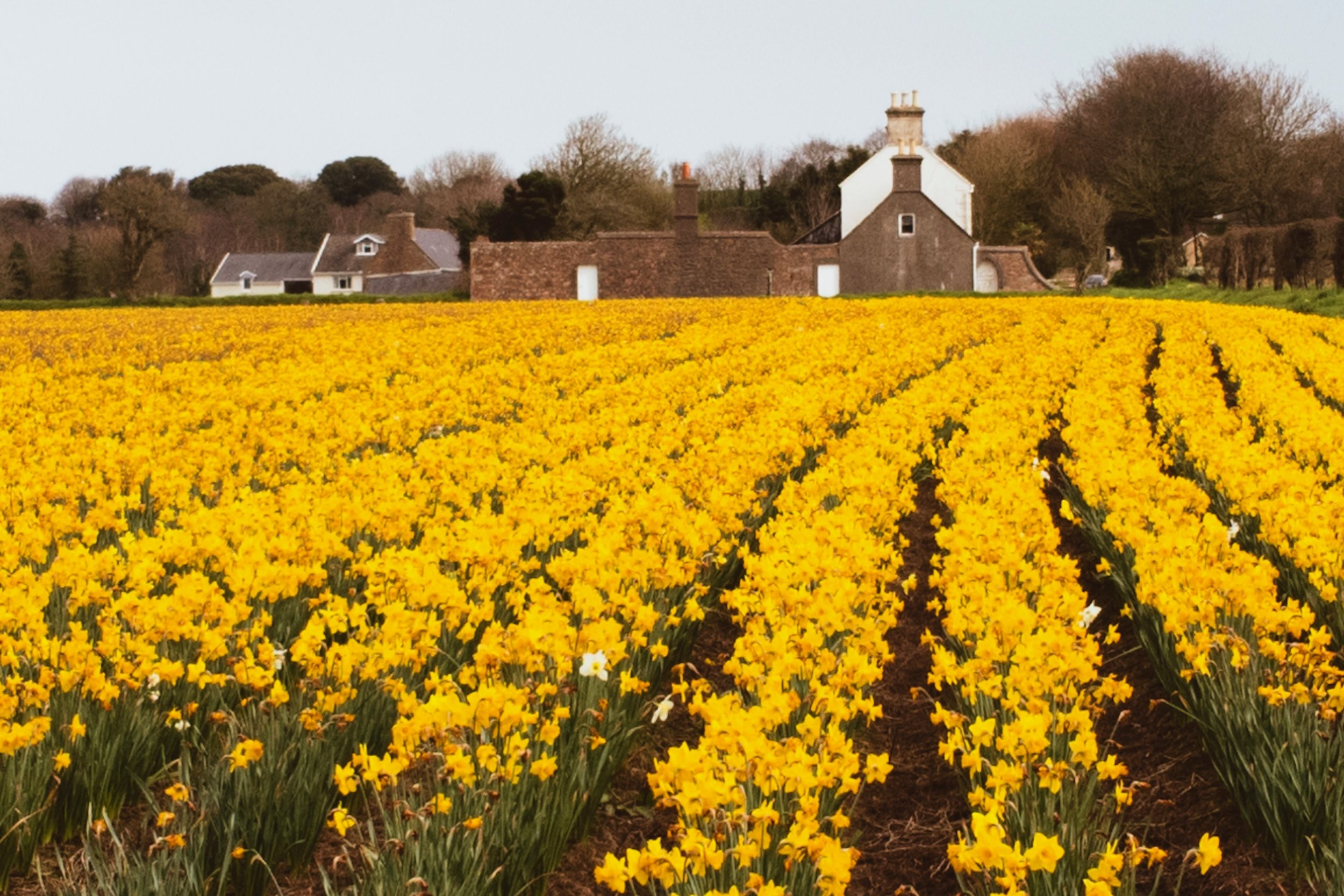 Typical Jersey farm -- you either see daffodils or potatoes!