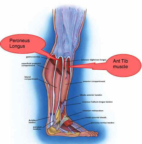 Calf-lateral-compartment-muscles.jpg