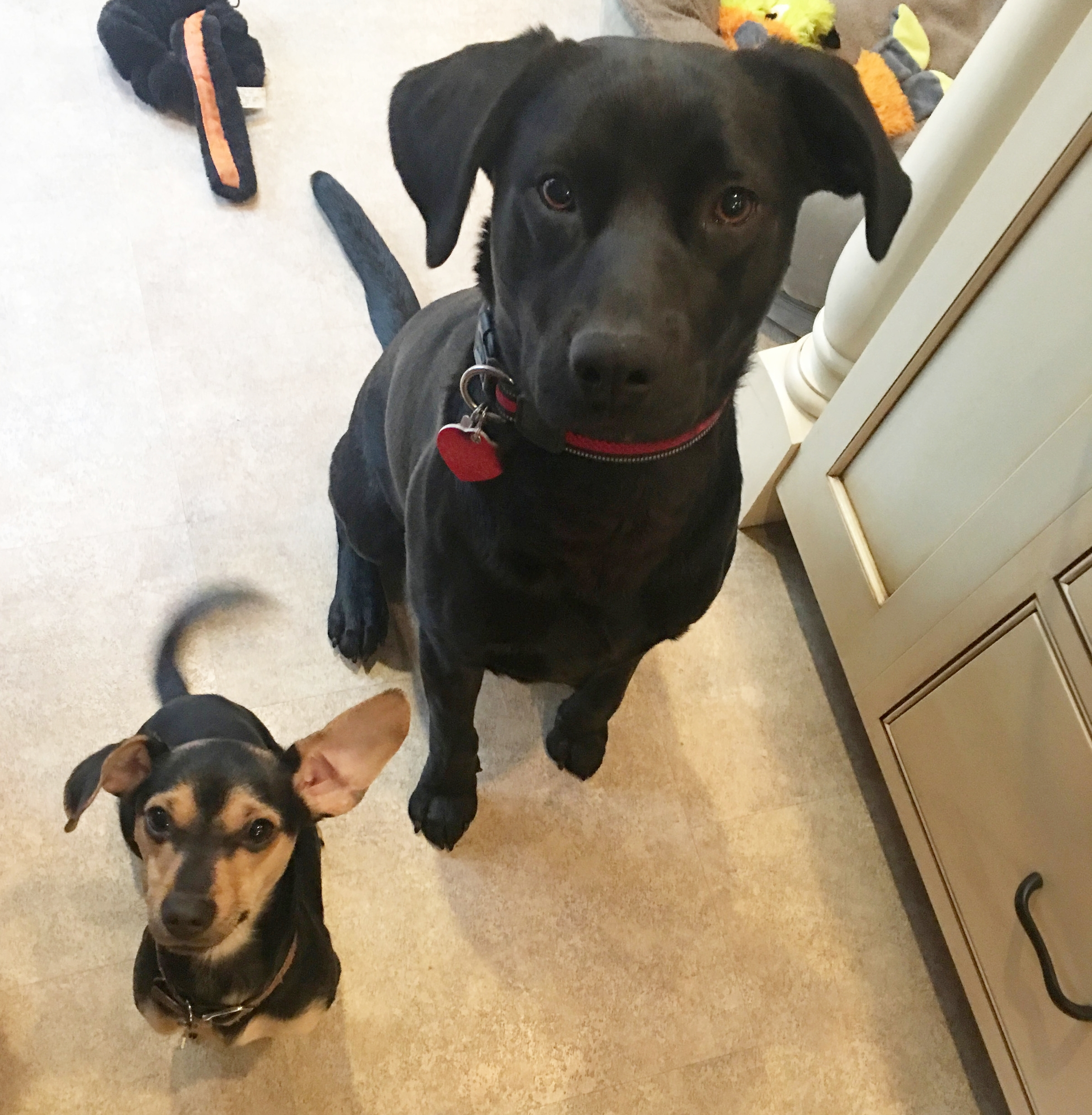 Dizzy and Pancho - Our house is alive with all the shenanigans and laughter a young Lab brings with him, and we are ever thankful to Lulu's for bringing Dizzy into our lives. Our son and his fiancée are equally thrilled with Pancho, our Lulu's