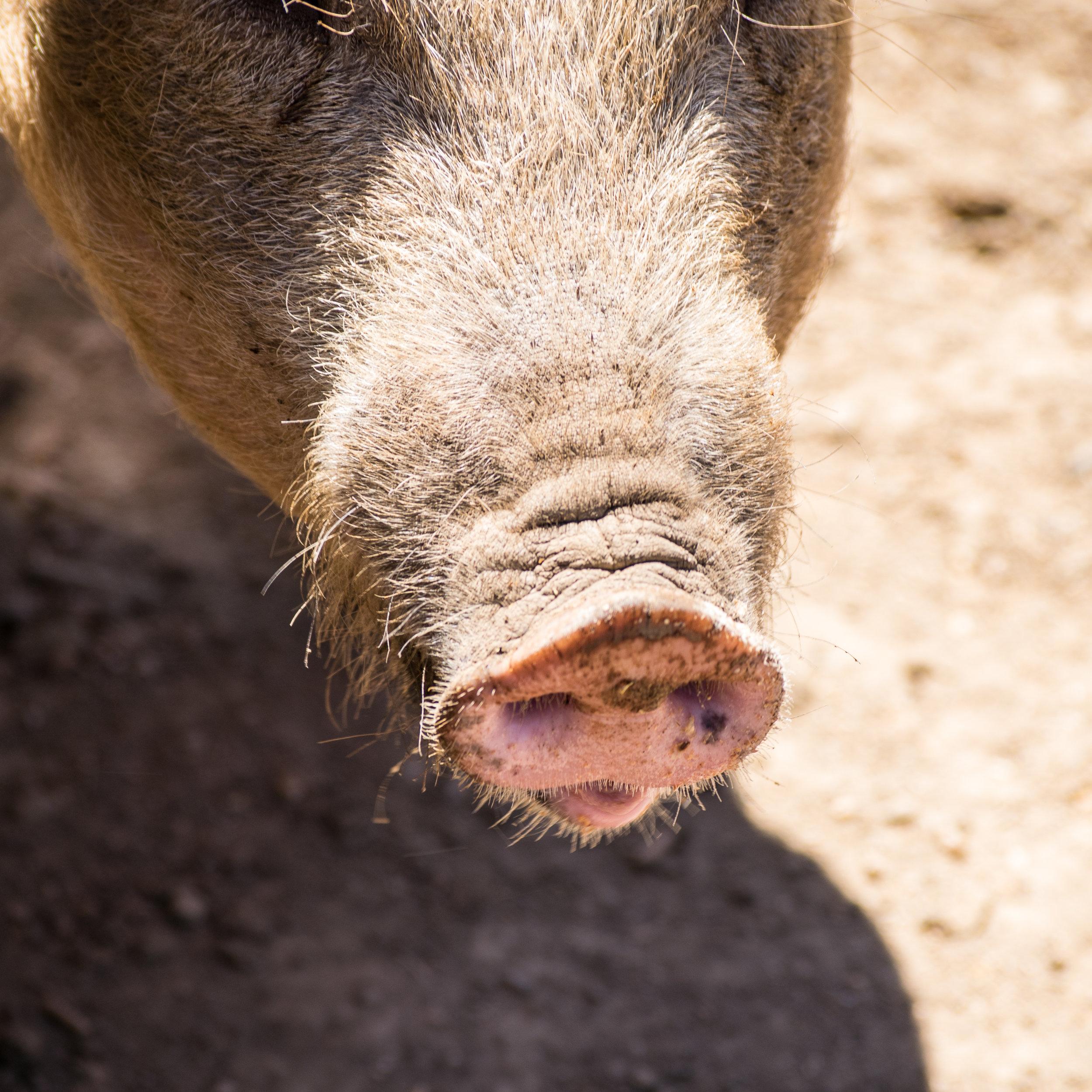Bare Bones Butcher | Pasture Raised Pork
