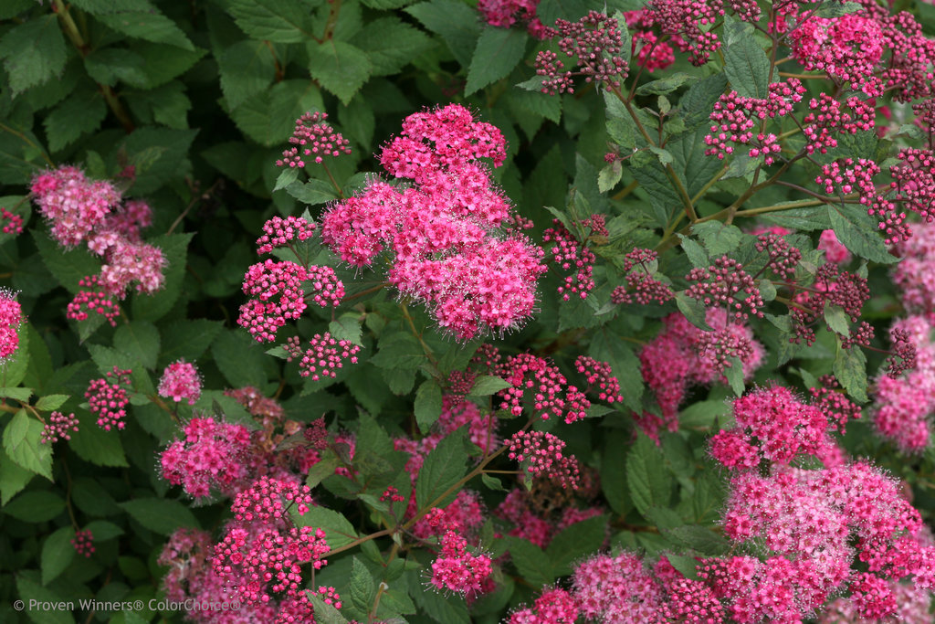 double_play_pink_spirea_flowers.jpg