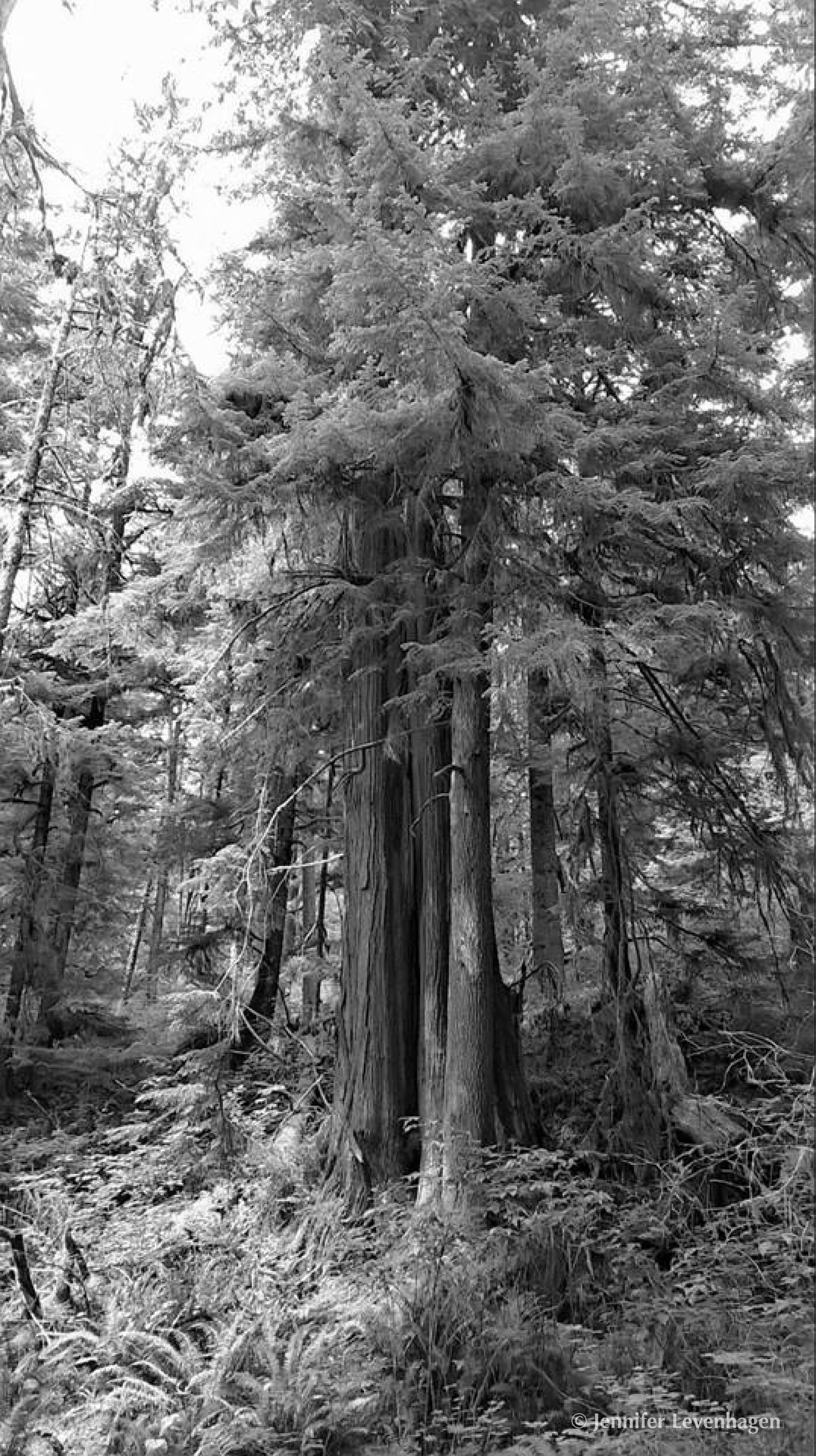 Daily Art from FB Trees Olympic Peninsula copyright.jpg