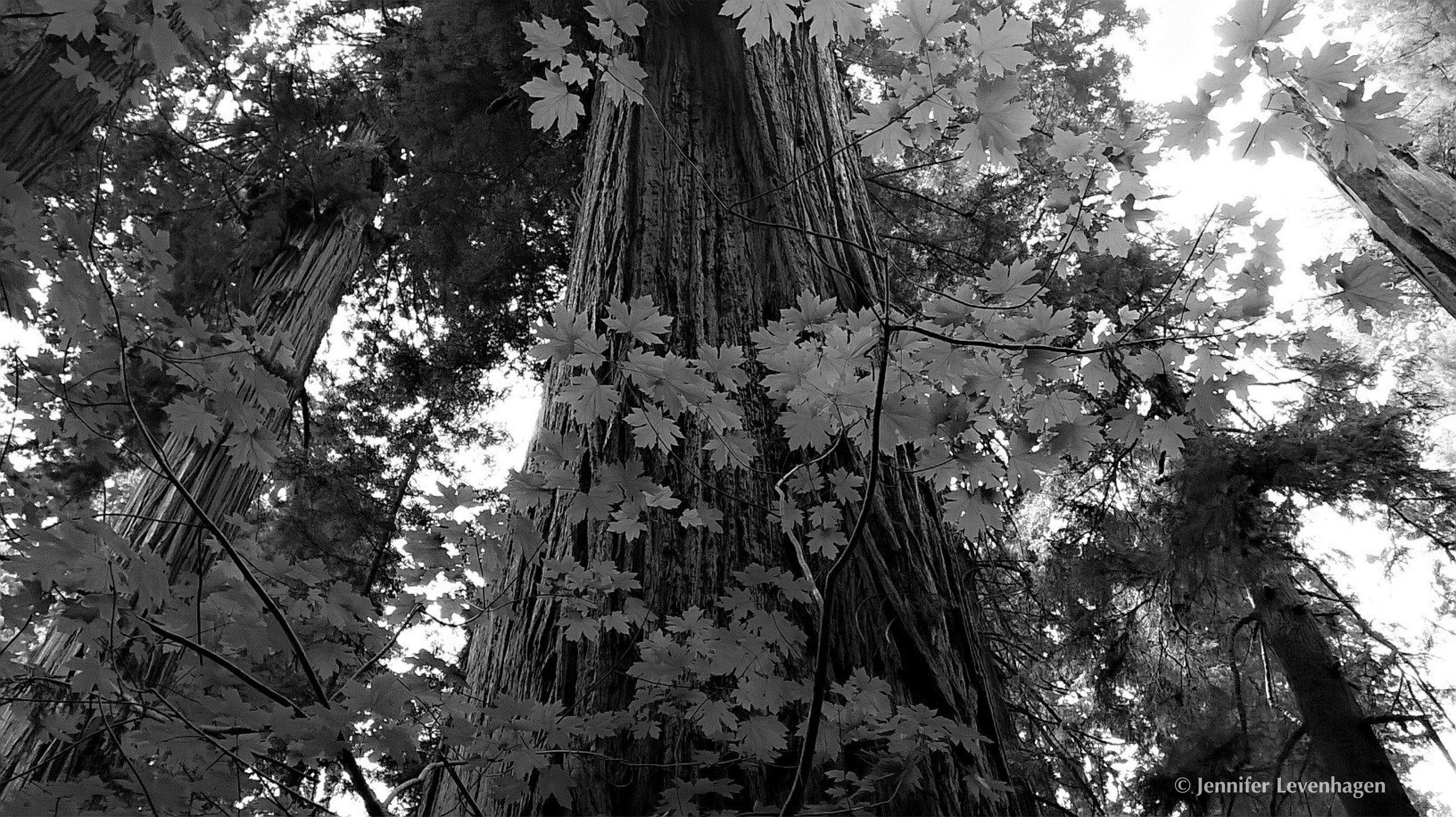 Daily Art from FB Redwood copyright.jpg