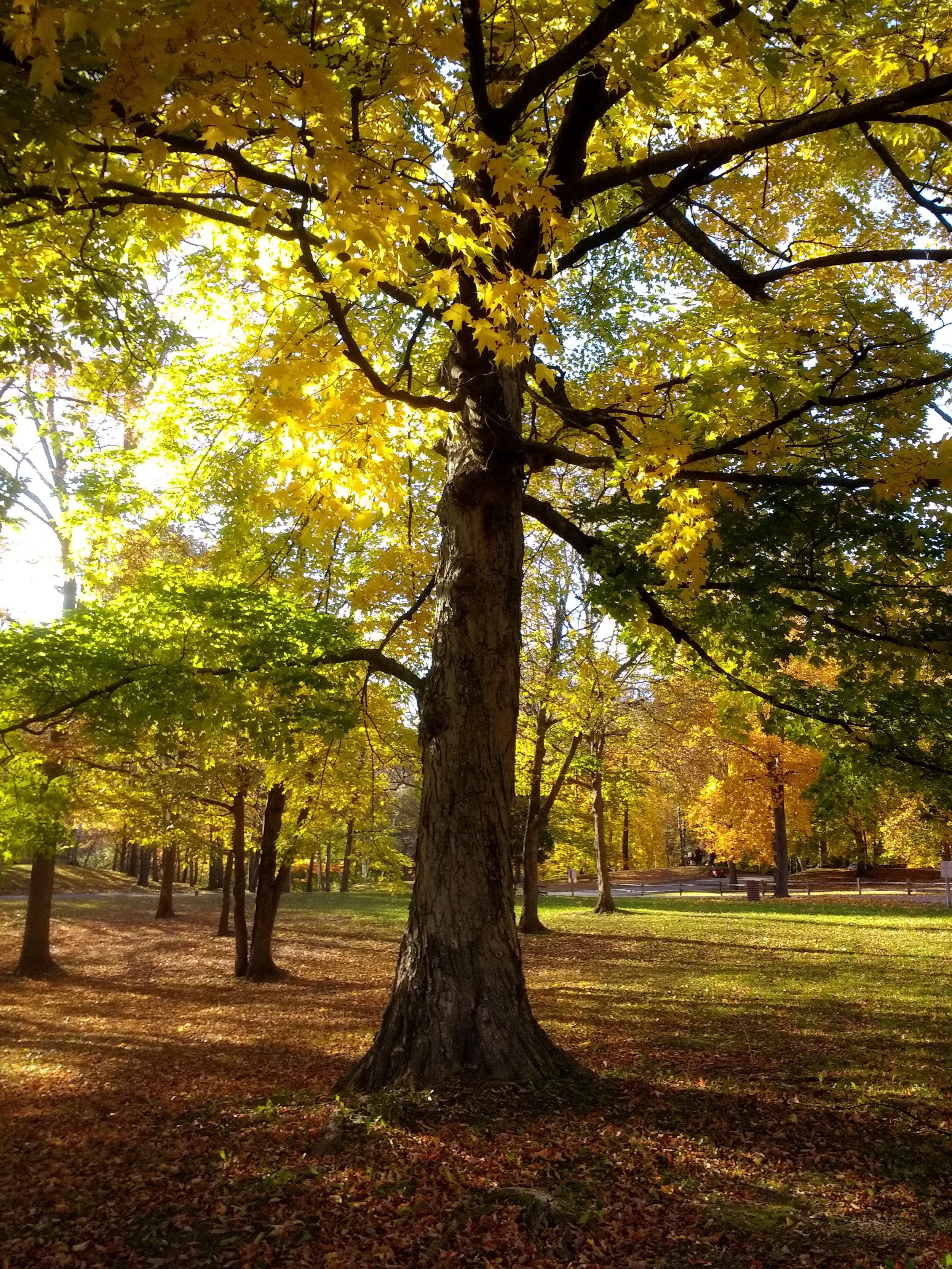 maple tree plamann IMG_20181016_163233154.jpg