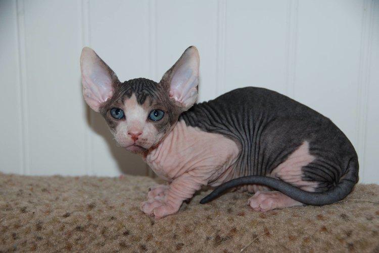 black sphynx - sphynx kittens - hairless kittens