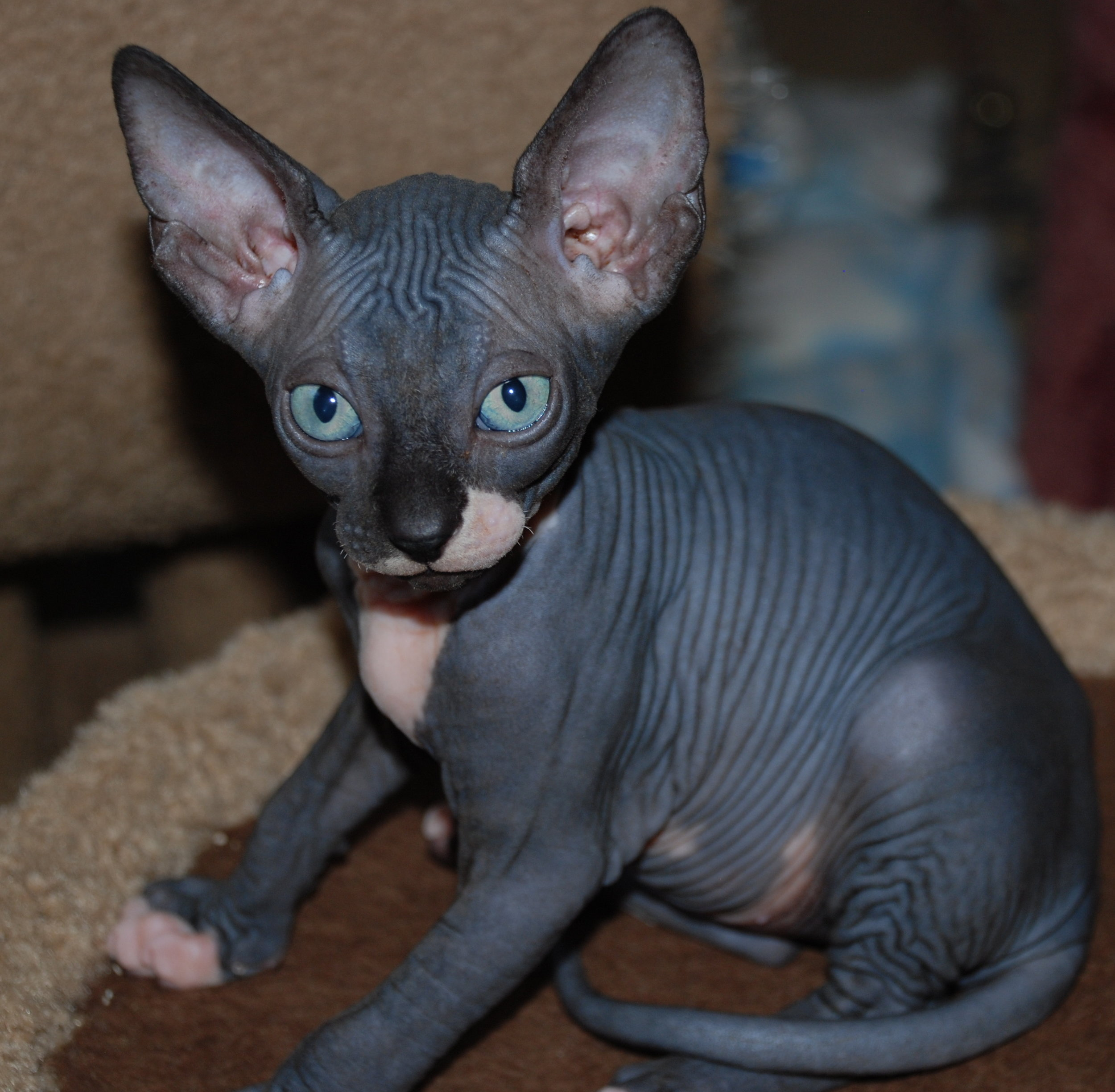 black sphynx - sphynx kittens - hairless kittens