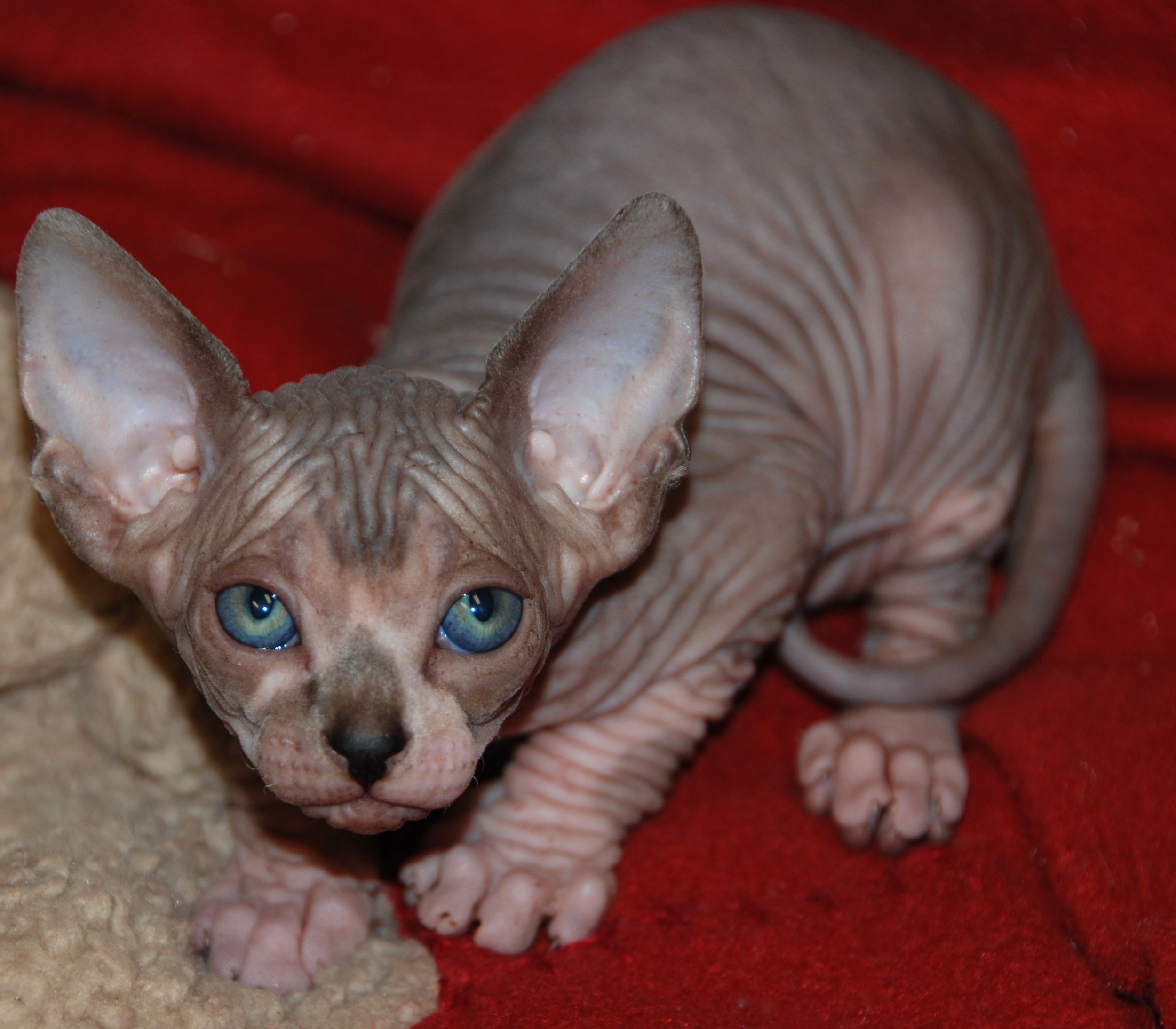 Seal Tabby and White Mink Sphynx