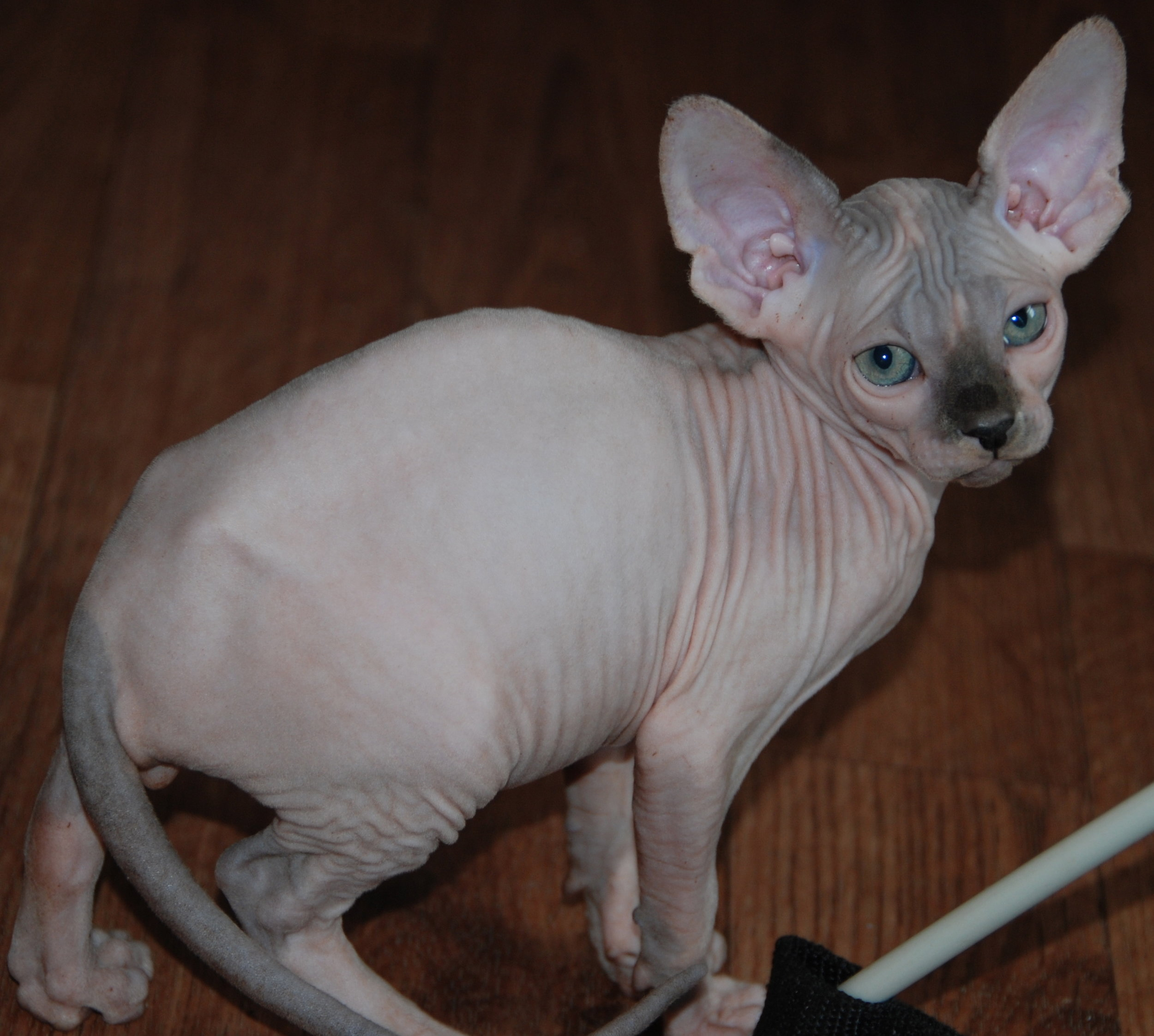 Blue and White Mink Sphynx