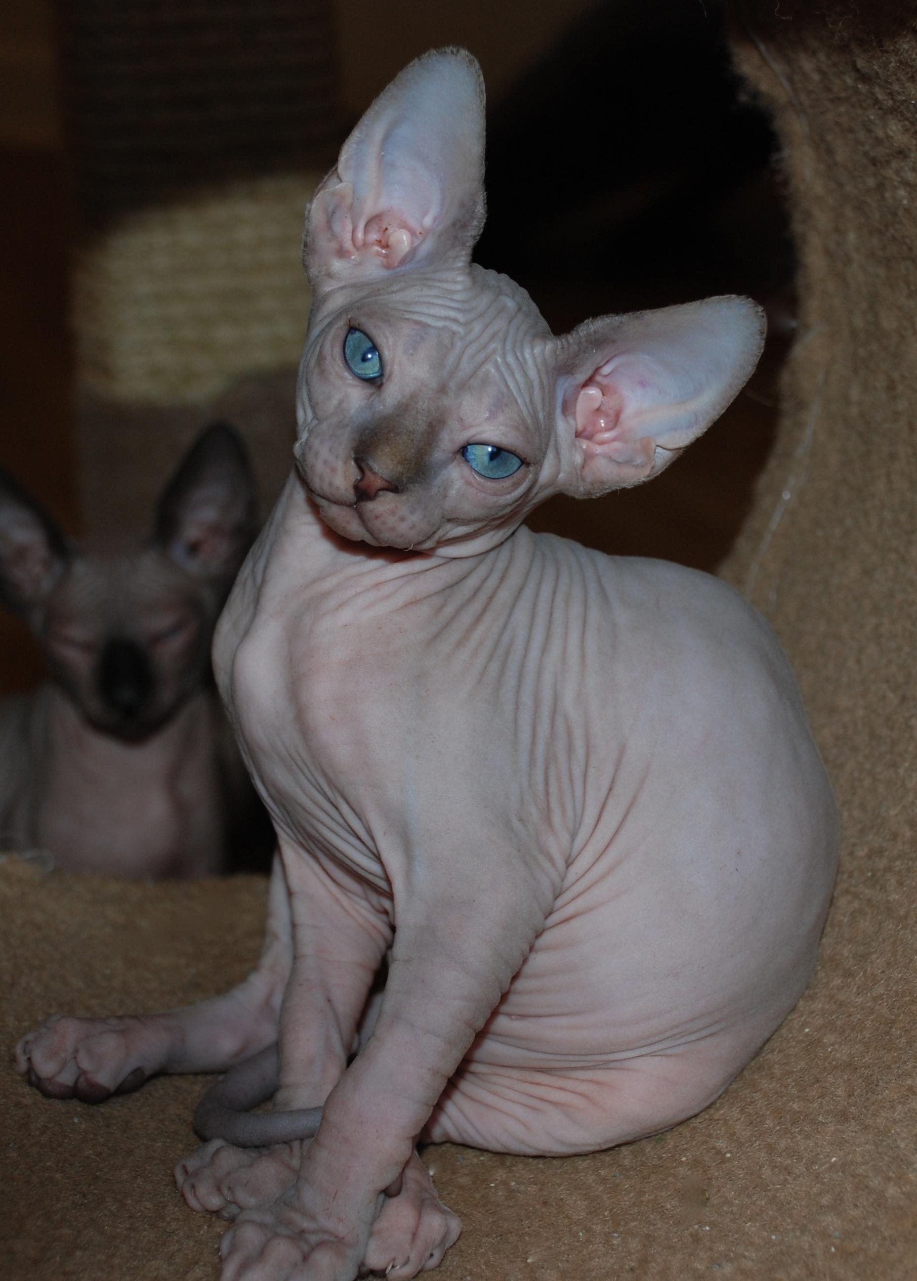 Lilac Tabby Mink Sphynx