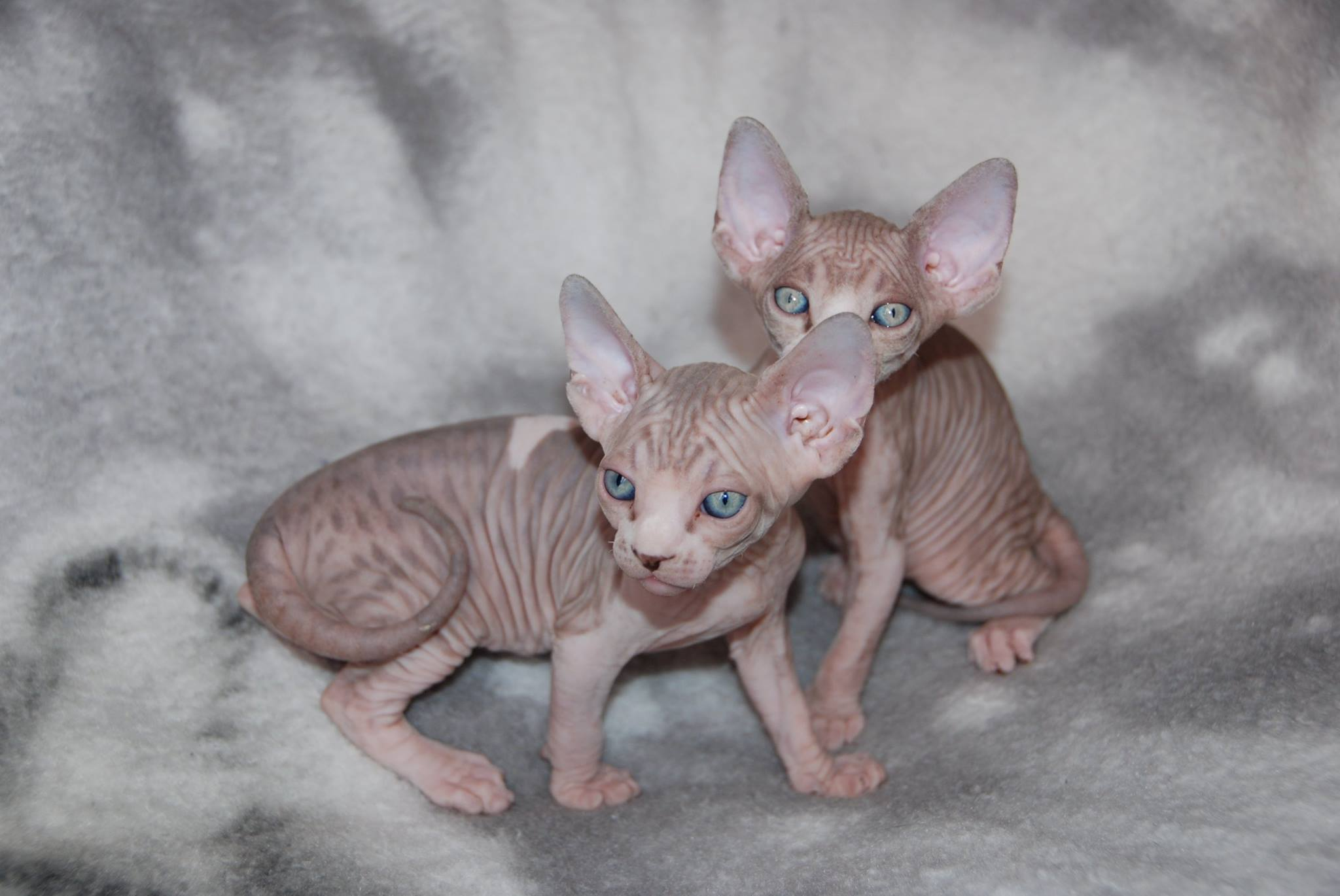 Tabby and White Mink Sphynx