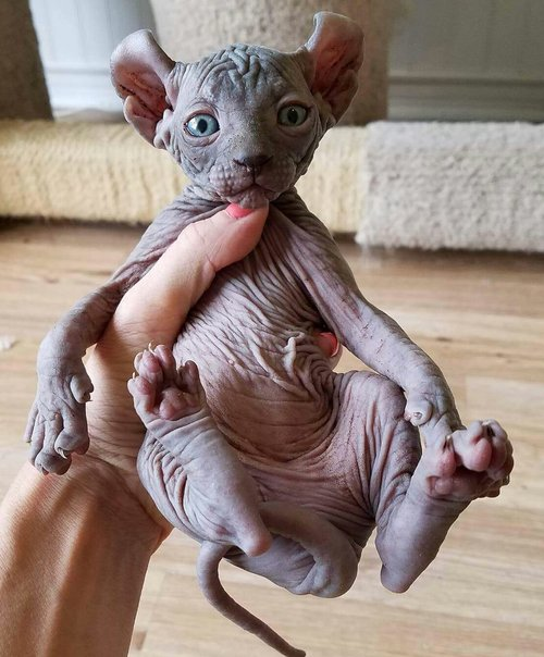 Elf kittens - elf sphynx - elf cats — NOCOATKITTY SPHYNX