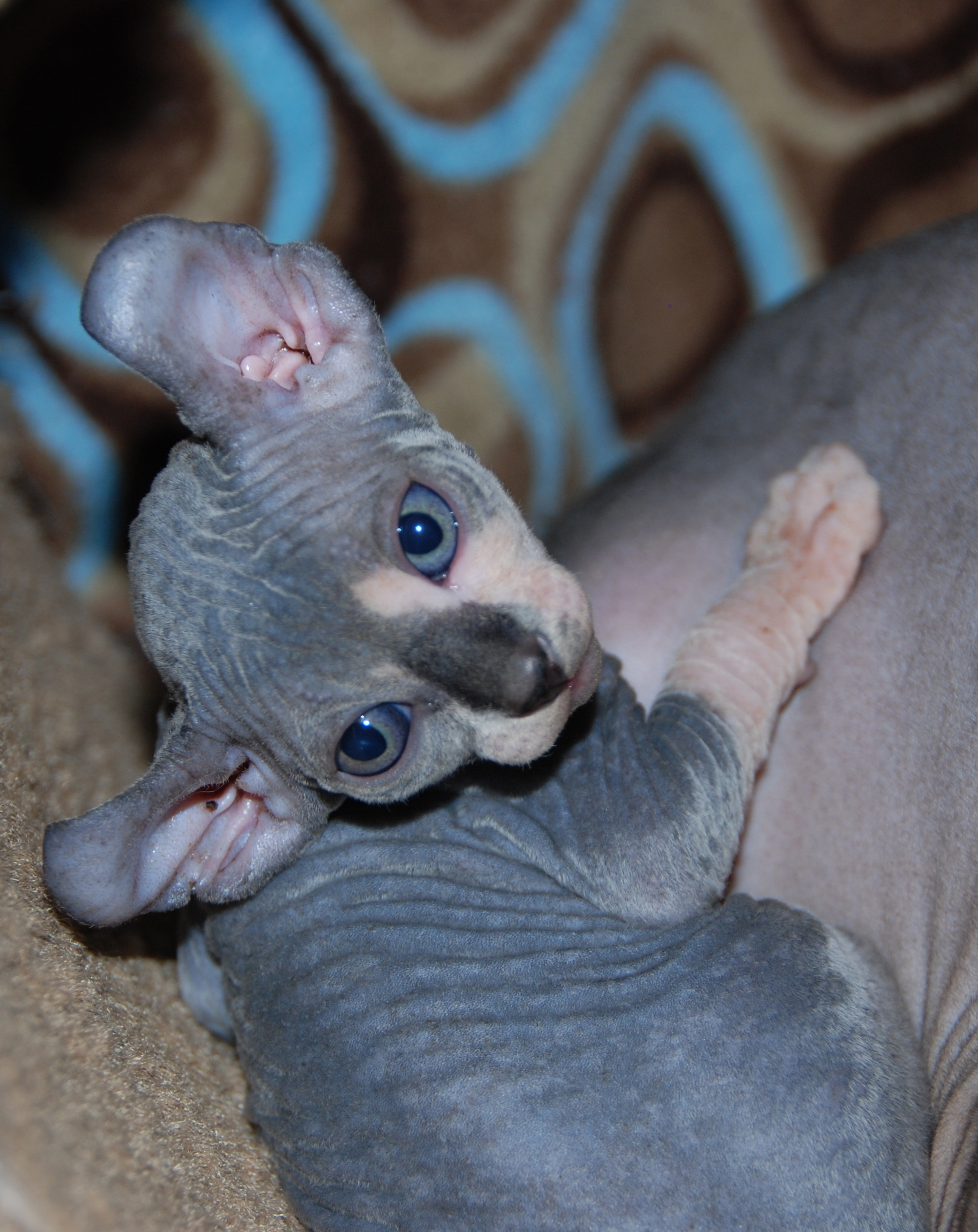 Elf kittens - elf sphynx - elf cats — NOCOATKITTY SPHYNX