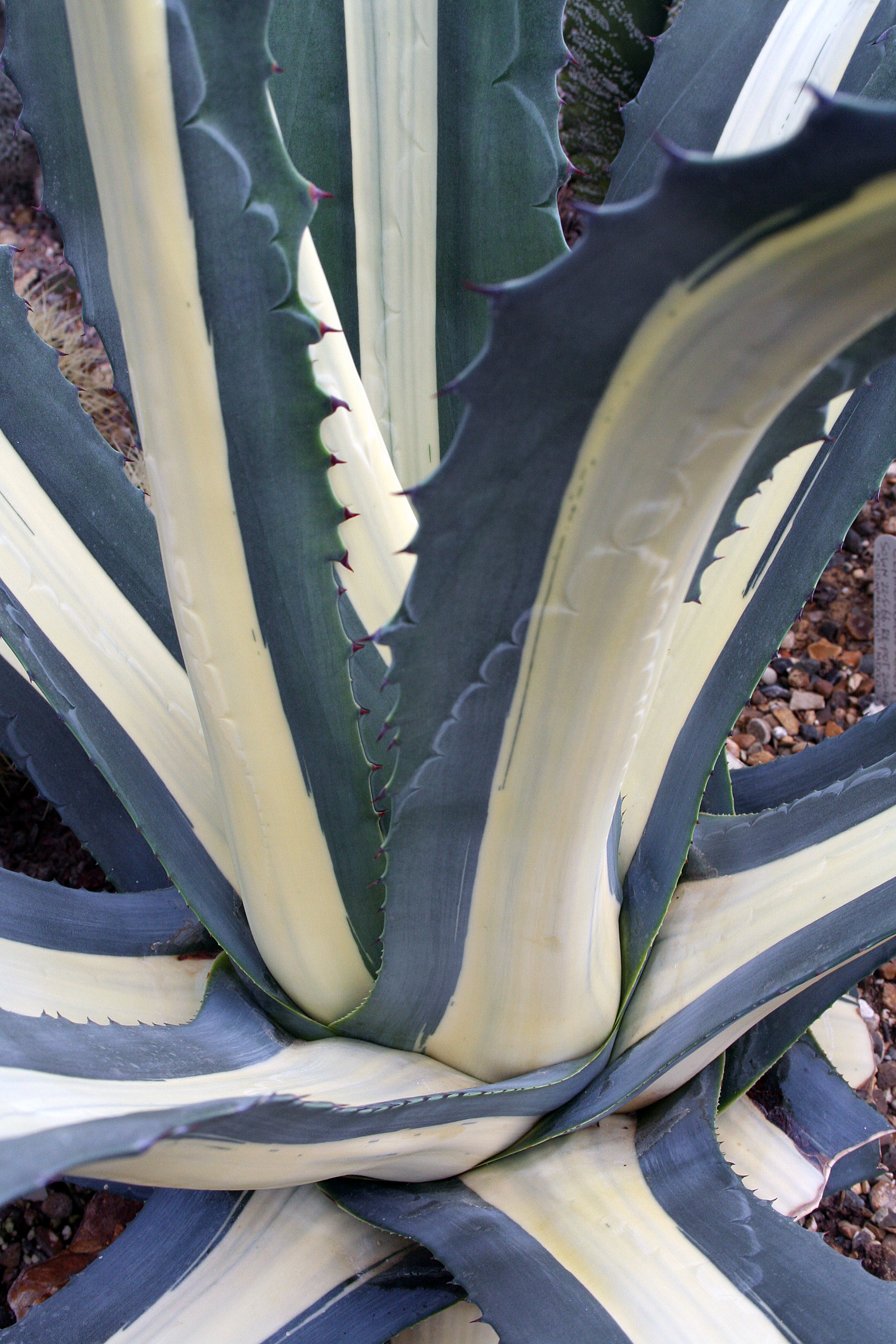 Agave side view 5.JPG
