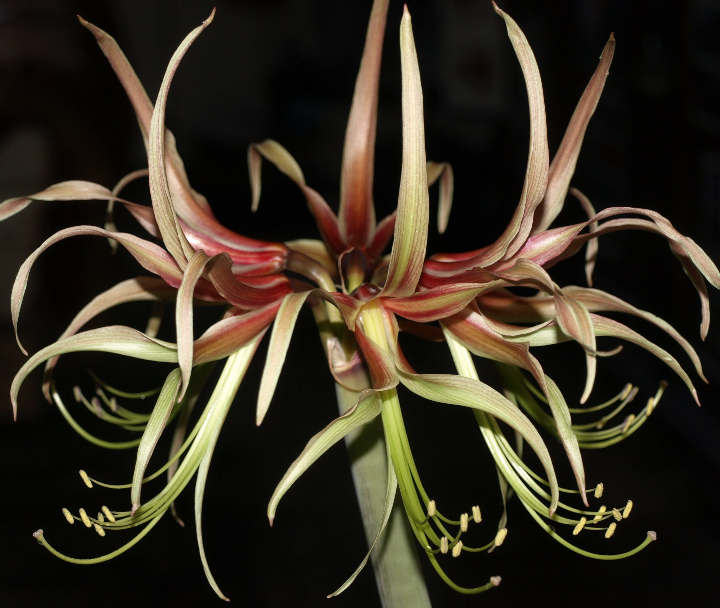 22). Hippeastrum cybister 'Chico' - commonly called  'Amaryllis' flowering in March 2013.JPG