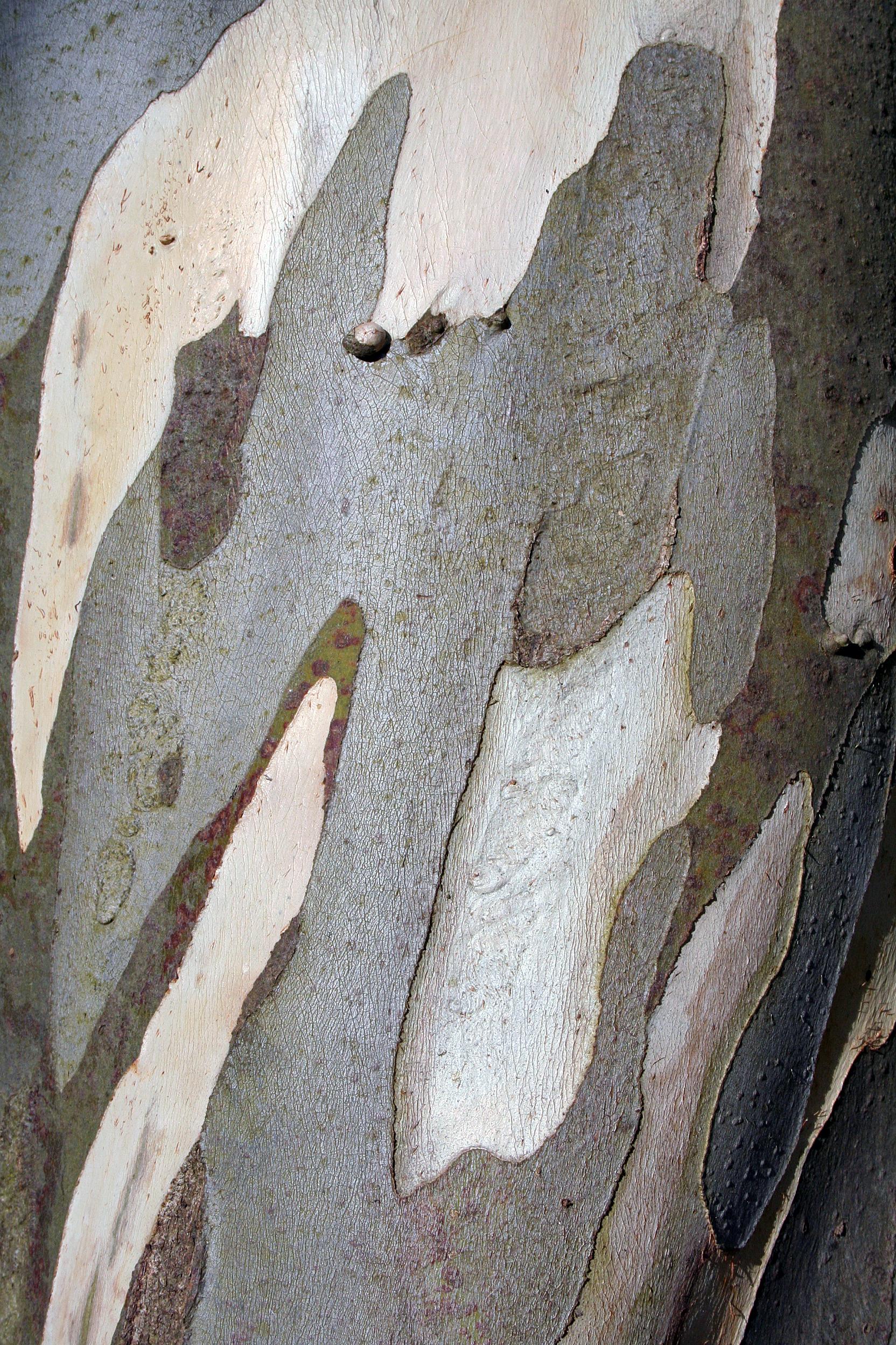 Eucalyptus bark.JPG