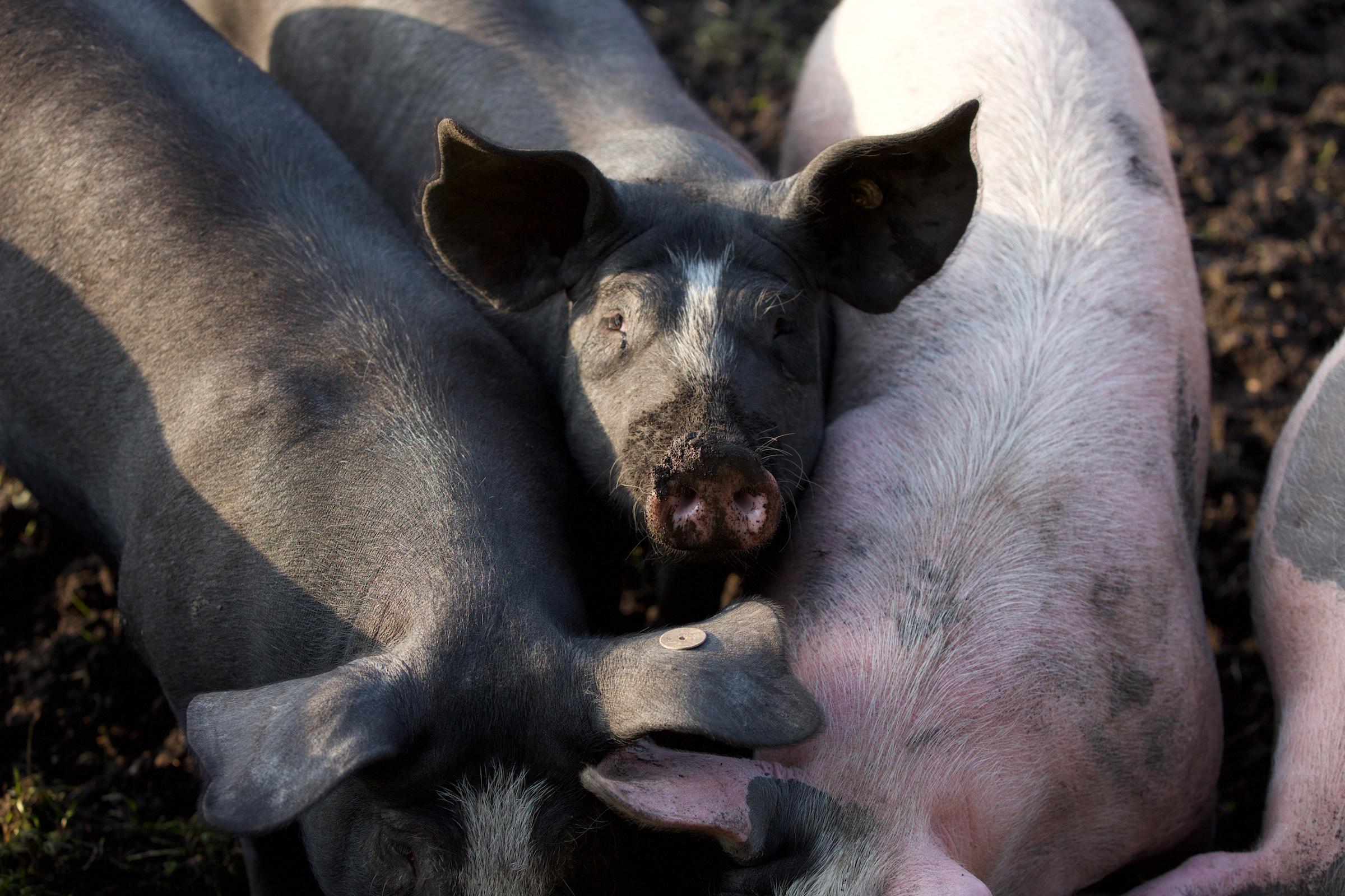 Schwein-5.jpg