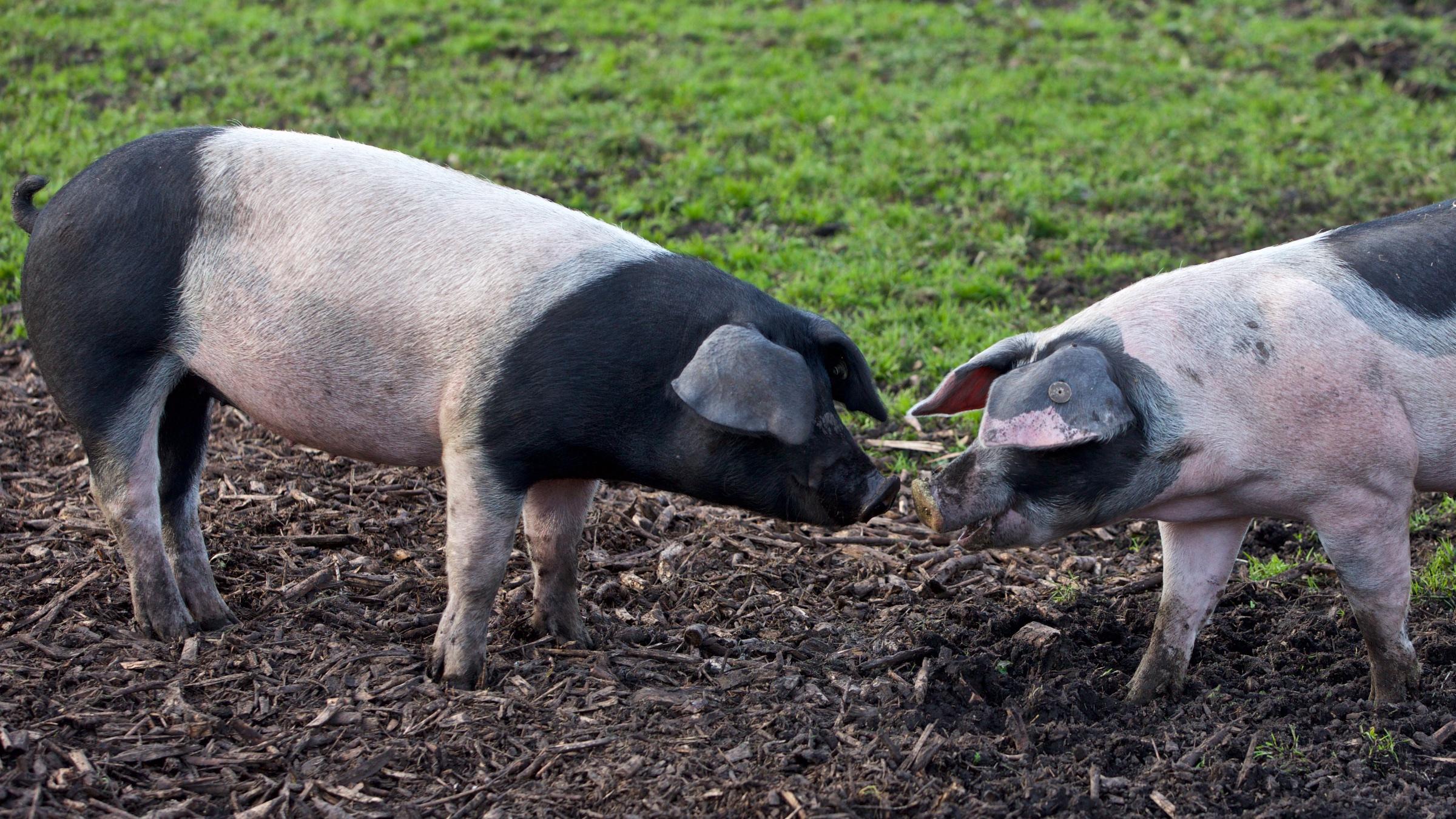 Schwein-7.jpg