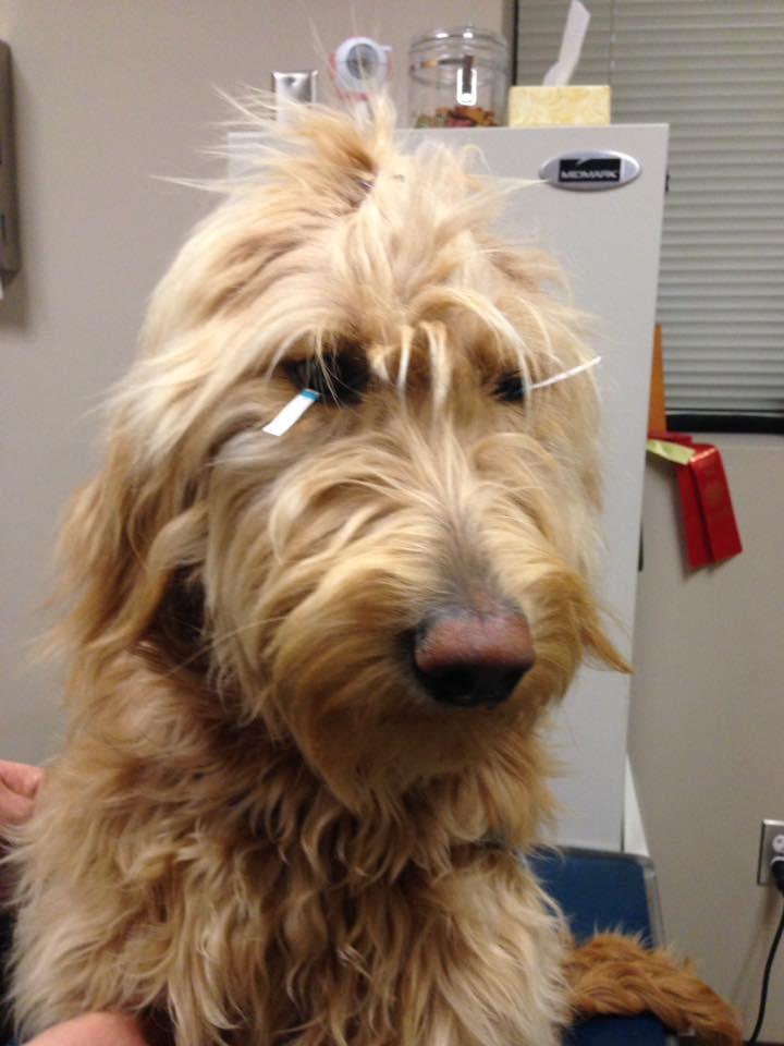 Bindi at Animal Eye Clinic of Spokane