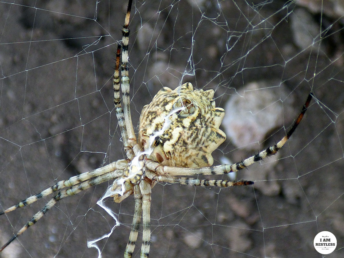 Argiope Lobata Yellow Spider Northern Bulgaria - See more at www.monicabadiu.com