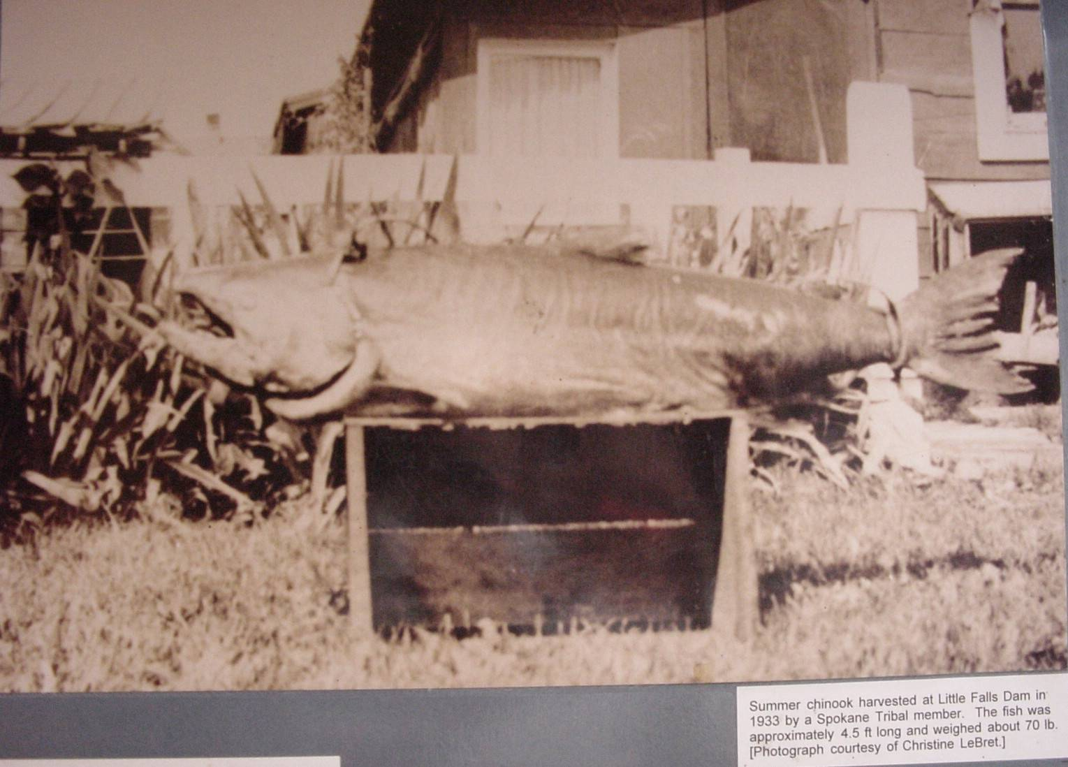 Very large salmon, such as this 70 pound, 4.5 foot long Chinook Salmon once provided food for native peoples of the area.