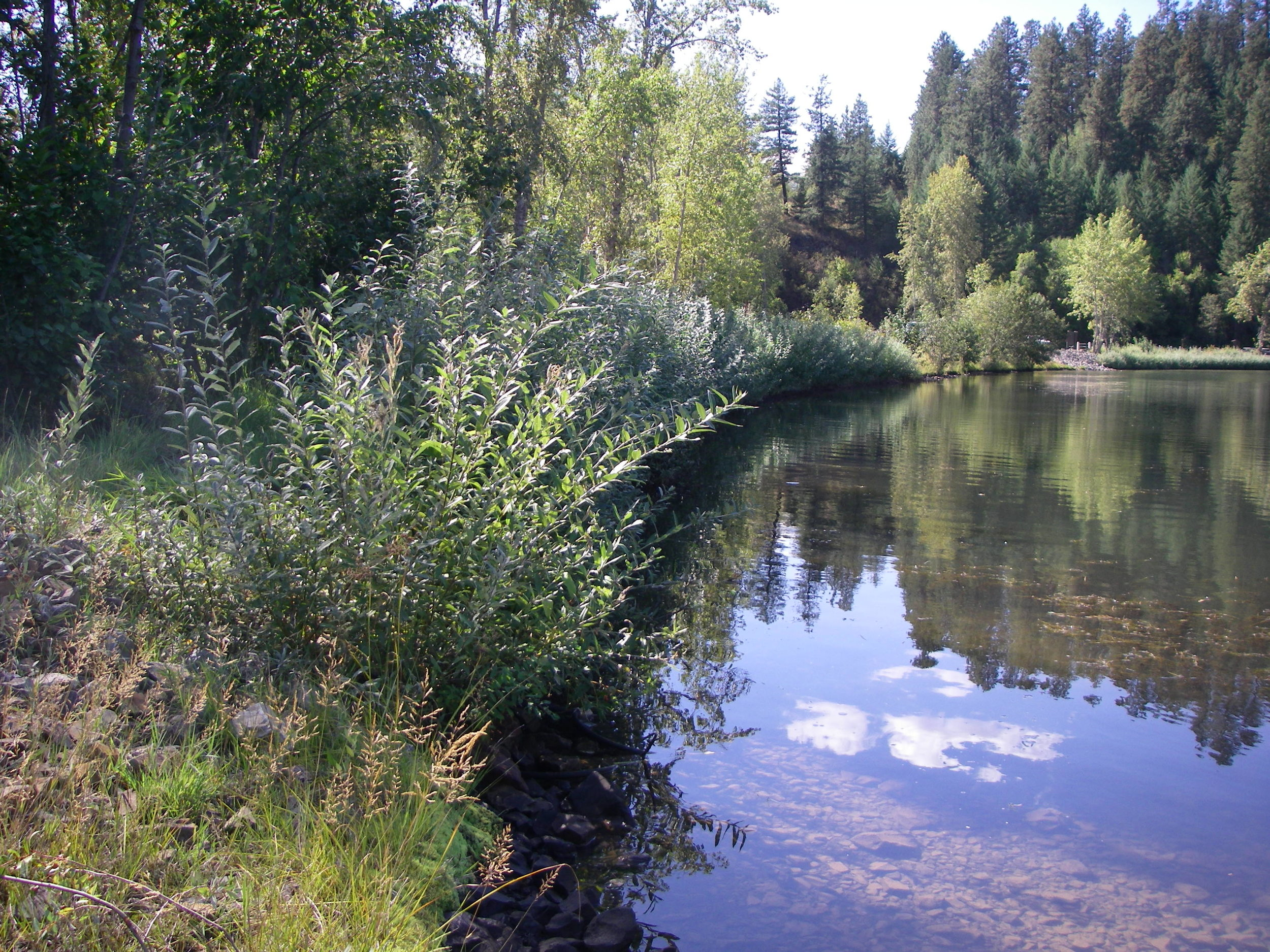 Lake CDA riparian vegetation.JPG